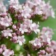 Valerina-växt